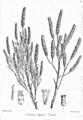 Tamarix dioica Bra6.png