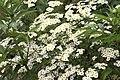 Tanacetum parthenium, Giresun 2017-07-07 01-1.jpg