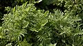 Tansy (Tanacetum vulgare) - Kitchener, Ontario.jpg