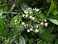 Tarenna asiatica-Asiatic Tarenna, Tharana, Pavattachedi, Kuppipoovu. 3.jpg
