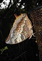 Tawny Rajah Charaxes bernardus Male UN by Dr. Raju Kasambe DSCN1769 (8).jpg