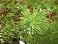 Taxodium distichum branch.JPG