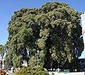 Taxodium mucronatum tule.jpg