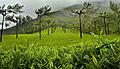 Tea plantation in Munnar.jpg
