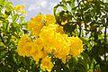 Tecoma Stans (Yellow Elder) (28894252635).jpg