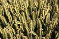 Teguise Guatiza - Jardin - Euphorbia griseola 03 ies.jpg