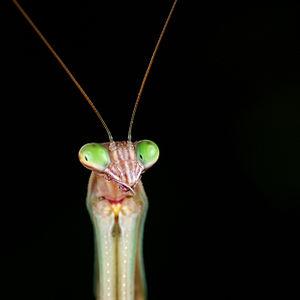 Chinese mantis - Image: Tenodera sinensis 3 Luc Viatour