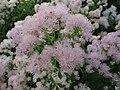 Thalictrum aquilegiifolium Lehtoängelmä Aklejruta C DSC03061.JPG