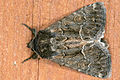 Thalpophila matura, Lodz(Poland)01(js).jpg