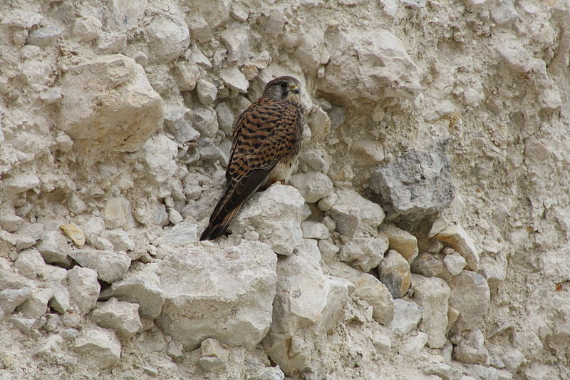 File:The Common Kestrel Falcon in Lusail city – Qatar since 19, January 2014.JPG