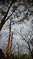 The National Botanical Garden of Bangladesh, tallest trees.jpg