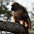 The baboon soldier - Flickr - askmeaks.jpg