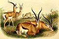 The book of antelopes (1894) (14595728399).jpg