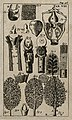The lungs, trachea (windpipe) and thyroid. Engraving, 1686. Wellcome V0007780EC.jpg