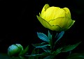 The yellow Peony. (10588855215).jpg