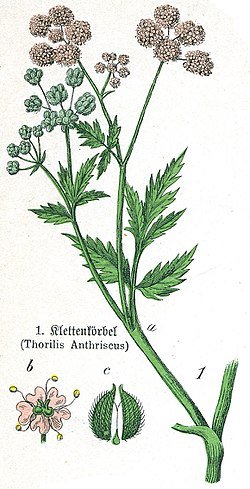 Thorilis anthriscus.jpg