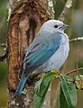 Thraupis episcopus Azulejo común Blue-grey Tanager (11280306824).jpg