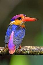 Three-toed kingfisher.jpg