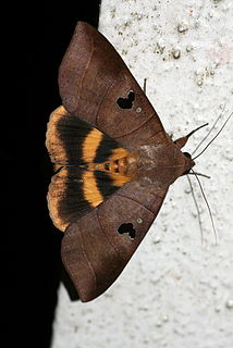 <i>Thyas coronata</i> Species of moth