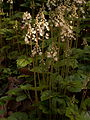 Tiarella cordifolia growing in Schenley Park, Pittsburgh, 01.jpg