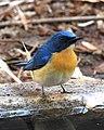 Tickell's Blue Flycatcher Cyornis tickelliae by Dr. Raju Kasambe DSCN9986 (3).jpg