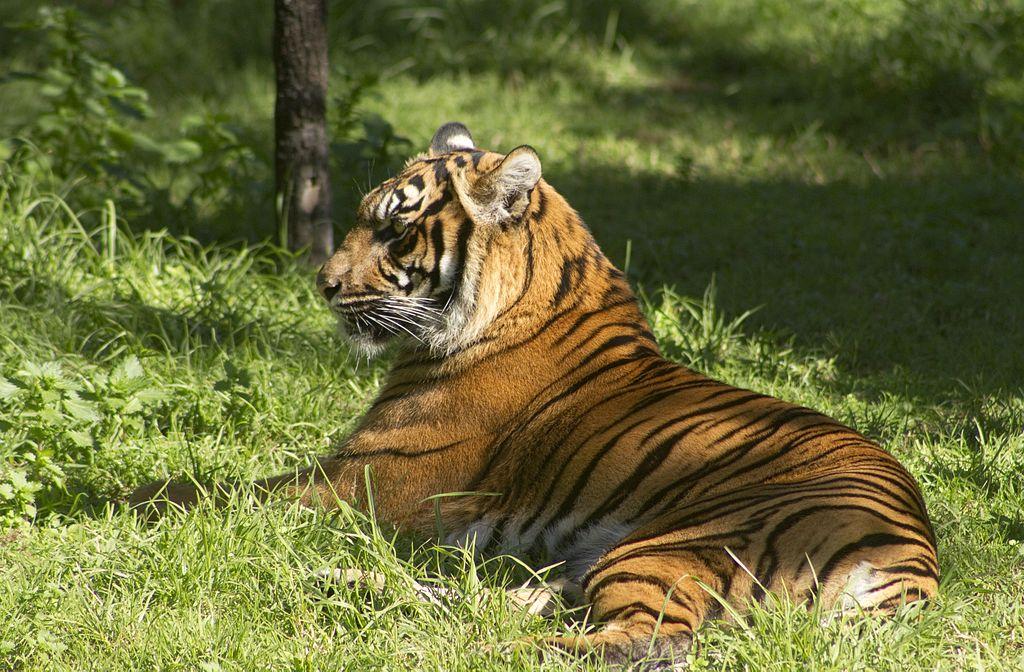Tiger at Taronga Western Plains Zoo 2