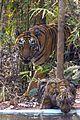 Tigress Chori and cub.jpg