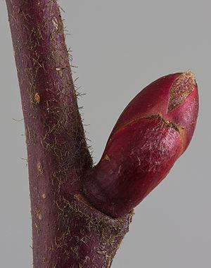 Tilia platyphyllos - Image: Tilia platyphallos bud