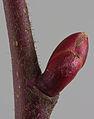 Tilia platyphallos bud.jpg
