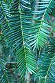 Torreya californica kz4.jpg