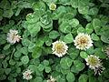 Tréboles en flor (de cerca).jpg