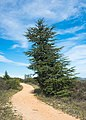 Trail and Atlas Cedar, Murviel-lès-Béziers.jpg