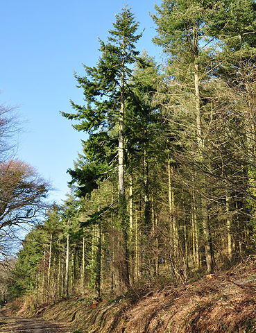 ome of the conifers in the Forestry Commission-owned Ethy Wood, near St Winnow, Cornwall.