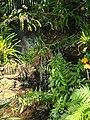 Tricolored Heron, Fairchild Tropical Botanic Garden, Miami 1.jpg