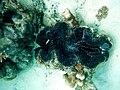 Tridacna maxima Voavah.JPG