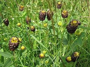 Trifolium Spadiceum.JPG