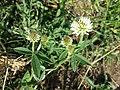 Trifolium montanum (subsp. montanum) sl5.jpg