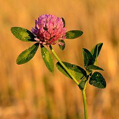 Ďatelina lúčna (Trifolium pratense)