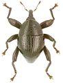 Trigonopterus montivagus holotype - ZooKeys-280-001-g052.jpg