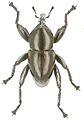 Trigonopterus soiorum holotype - ZooKeys-280-001-g079.jpg