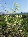 Trinia glauca (subsp. glauca) sl11.jpg