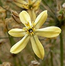 Triteleia ixioides scabra 2.jpg