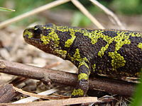 Green-black marbled newt