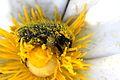 Tropinota squalida? (Cetoniinae) (8710099204).jpg