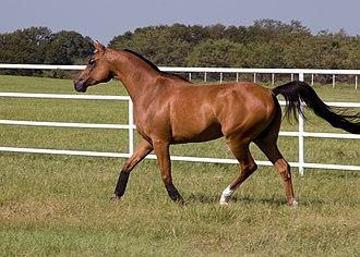 Glossary of equestrian terms - A Bay-colored Arabian horse