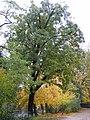 True Service Tree, Crystal Palace, Oct 2010.jpg