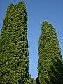 Tujen - Lebensbäume.jpg