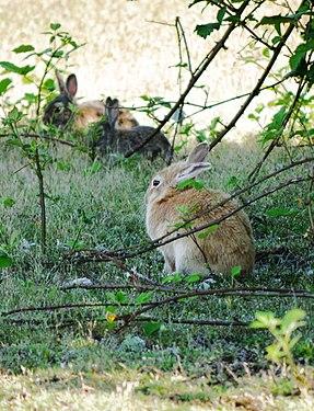 Tukwila, WA - Rabbits near W. Marginal Way and S 102nd Street 02 (cropped).jpg