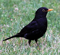 Turdus Merula in Saint Sernin Croped.jpg
