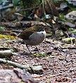 Turdus albicollis - Flickr - Dick Culbert.jpg